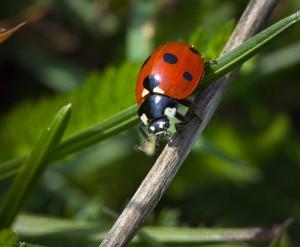 biedronka-owad